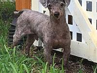 Hero's story Adoption fee is $150 Hero is a poodle mix