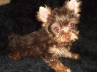 Hersey is a chocolate & tan teacup yorkie male. He took