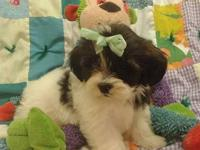 Hershey is my little fiesty and frisky shih poo puppy!