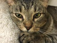 Hestia is a sweet and loving brown tabby girl who gets
