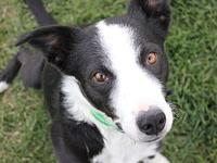 Hetson's story Heston is 5-6 yr old border collie who