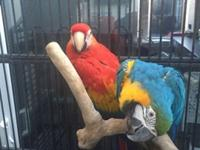 macaw parrots available for salethey are very friendly
