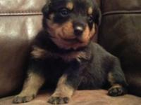 hggfgf Stunning Rottweiler Puppies Well Socialized