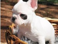 hkfhgkfjvvdb. Adoroble french bulldog puppies