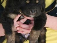 hghgh Outstanding M/F Tibetan Mastiff Puppies Ready For