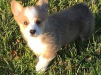 hhjdsghd Pembroke Welsh Corgi Puppies for Sale. ..text