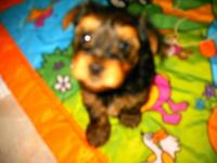 I am a 3 month male black and gold Mini-Yorkie who