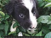 Hiccup's story Hiccup is an 8 week old Border Collie