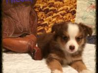 Ranch Raised ASDR Toy / Mini Aussie Puppies. Hiccup ~