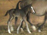 Hickory's Viento Sur is an American Indian Horse colt.