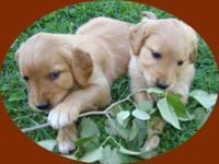 These eleven lovely Golden Retriever puppies are family