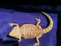 5 Color morph Bearded Dragon Breeders, 4 females ( 2