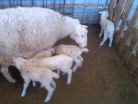 Royal White X Finnsheep bred for production, milking