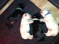 Four beautiful male lab puppies. Taking deposits now on