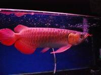 Animal Type: Fishes Breed: Arowanas High quality