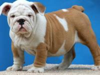 Engolish bulldog puppy with the highest quality and
