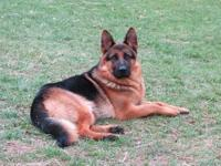 High quality, West German Show-line, German Shepherd