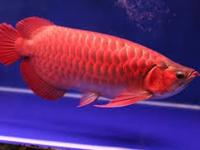 super red arowana fish for sale   ..for contacting us