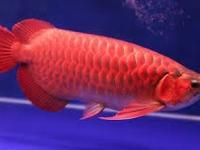 High Quality Super Red Arowana fish and many others