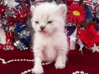 REFR Highland Lynx registered kittens born. We have a
