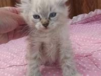 7 Highland Lynx male and female kittens available. All