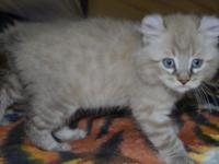 TICA Registered Highlander Kitten WE ARE LOCATED IN