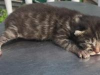 Highlander Kittens TICA or REFR Registered We have a