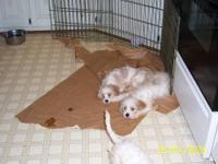 1 female, 2 males cavachon pups. highly intelligent,