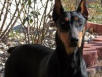 Hilda is a AKC signed up Doberman black/rust female.