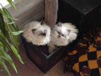 Himalayan / American Bobtail kittens. All are long