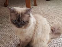 Pure bred Male Himalayan kitty he just turned 1 august