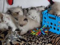 We have beautiful Persians kittens ready for loving