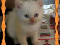 I have one male Flame Point Himalayan kitty and one