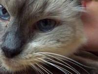 Himalayan - Essie - Small - Senior - Female - Cat