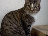 Himalayan - Frankie - Small - Young - Male - Cat 1 yr.