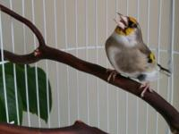Himalayan Goldfinch Text :  I was said it's male, but