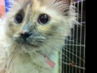 Himalayan - Kiki - Large - Adult - Female - Cat Kiki is