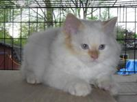 BEAUTIFUL RED POINT MALE HIMALAYAN FOR MORE INFORMATION