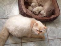 Animal Type: Cats Breed: Himalyan 2 Female Himalayan