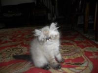 I have Himalayan kitten ready for adoption. He is