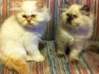 Himalayan Kitten Creme point male Mother is a creme