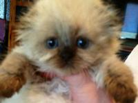 Himalayan male kitten, he is blue point: dark blue
