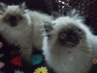 FUZZY MEMORIES CATTERY HAS NEW LITTERS! WE HAVE A