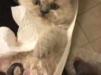 8 week old Himalayan kittens ready to go to their new