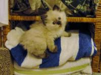 Himalayan Kittens -3 lady's available searching for a