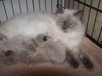 HIMALAYAN KITTENS BLUE CREAM POINT GIRLS, HAD LITTER OF
