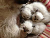I have three Himalayan kittens for sale. They were born
