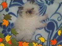 CFA registered Himalayan kittens, Parents negative for