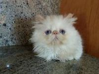 Himalayan kittens TOP QUALITY. Gorgeous Blue Eyed