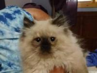 I have 2 pure bred Himalayan Kittens. They are 12 weeks